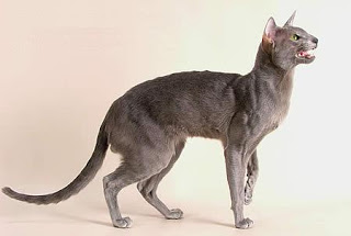 cat breed: oriental shorthair..